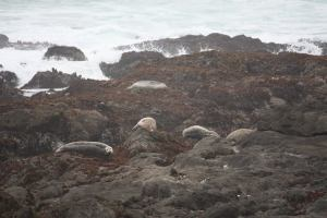 sea lions at MacKerricher