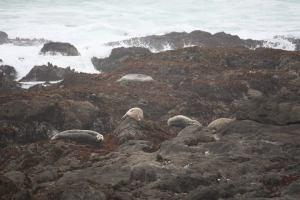 sea lions at MacKerricher